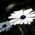 African Daisies photo with digital filters and handwork.
